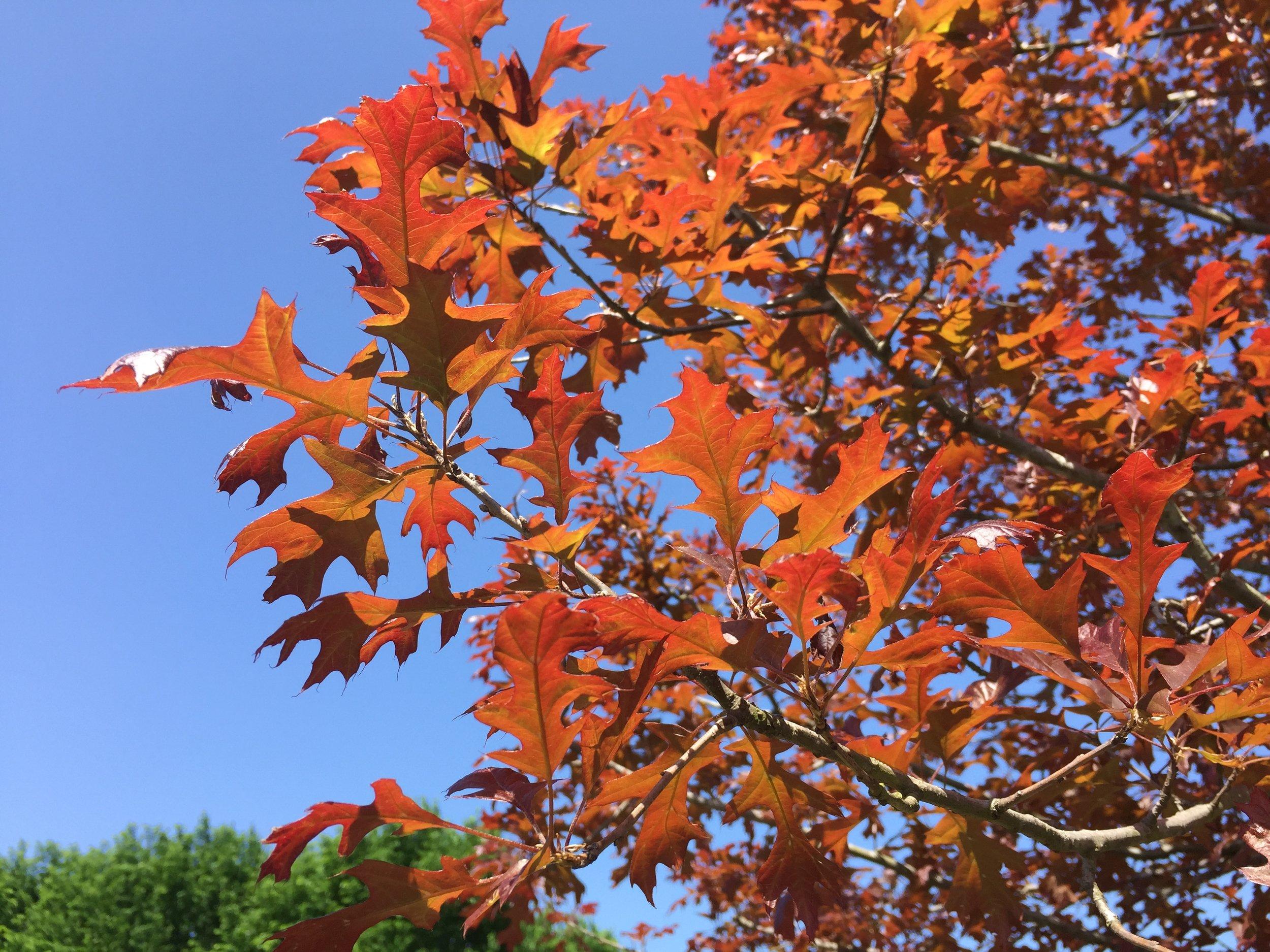 Ruby Spring® Nuttall Oak -
