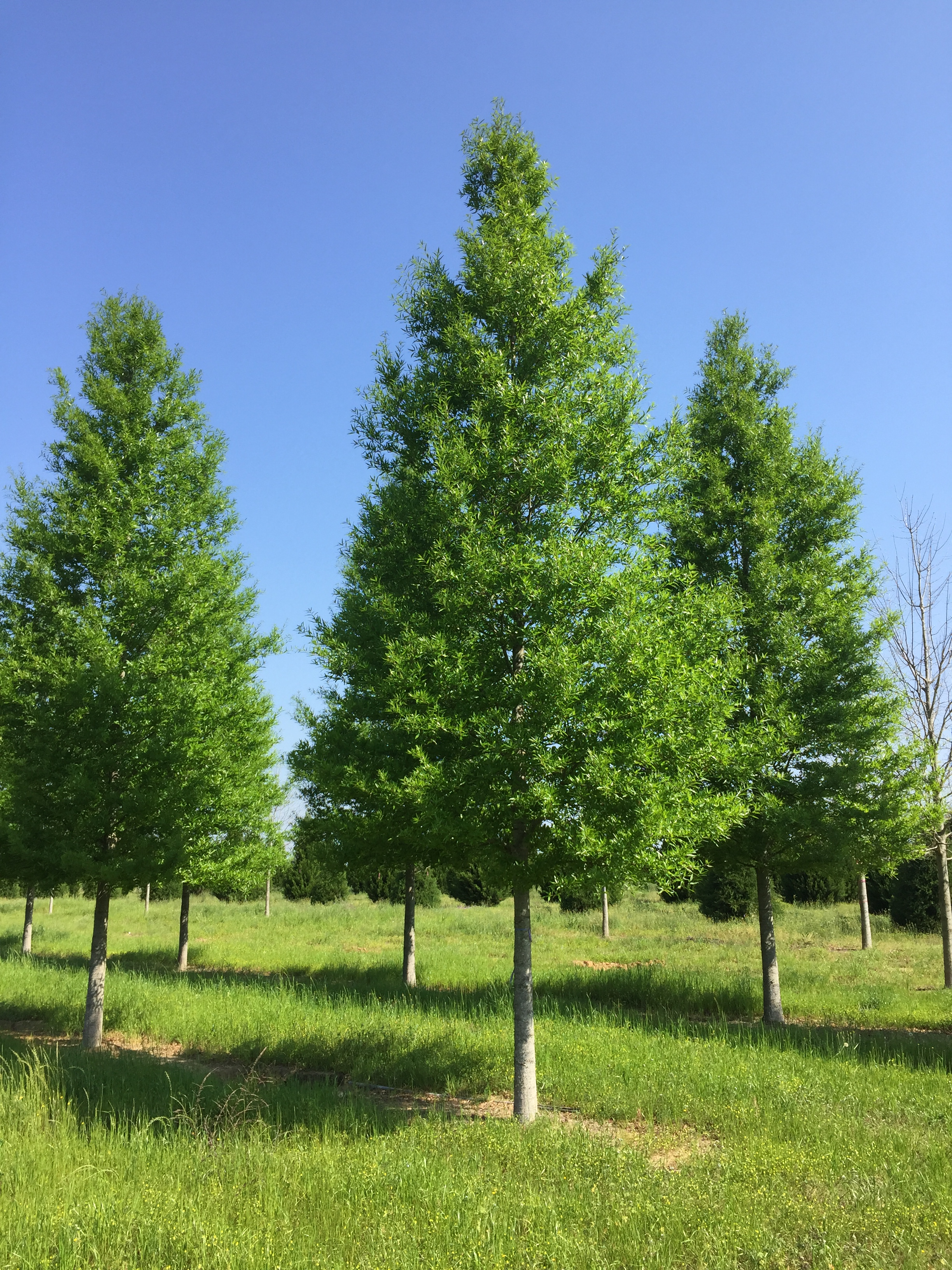 Kingpin® Willow Oak -