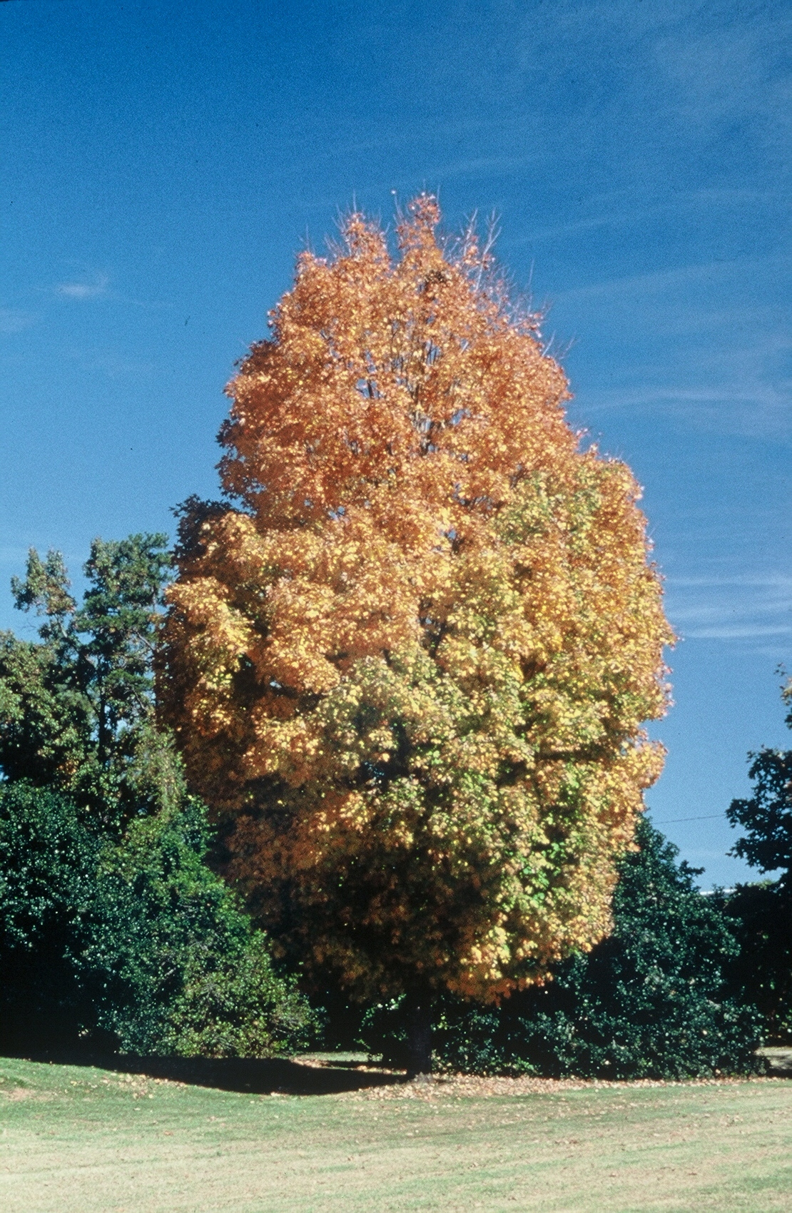 Steeple® Sugar Maple -