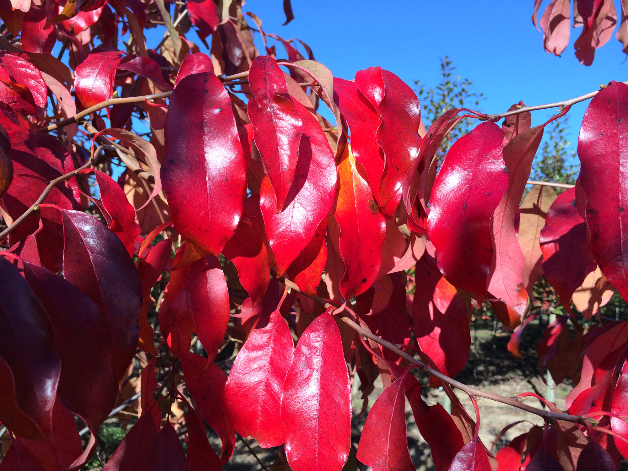 White-Chapel-Tupelo-Nyssa-sylvatica-fall-color.jpg