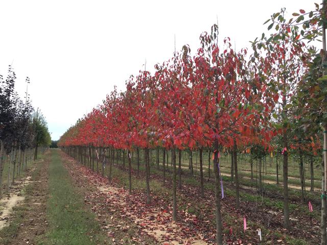 White-Chapel-Tupelo-Nyssa-sylvatica-fall-color-row-2.jpg