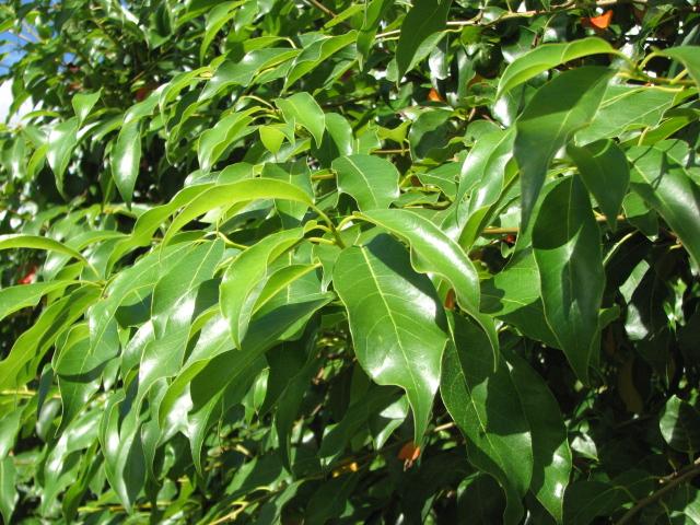 White-Chapel-Tupelo-Nyssa-sylvatica-foliage.jpg