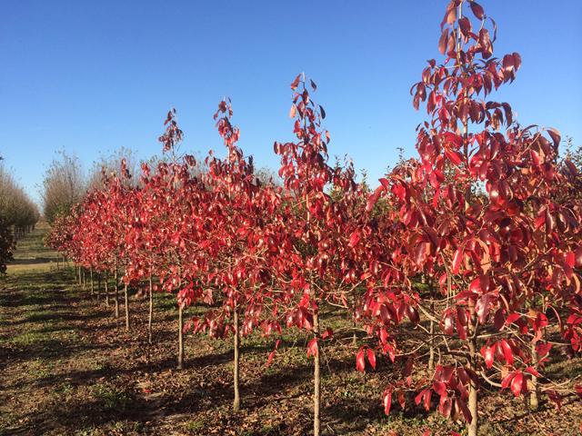 White-Chapel-Tupelo-Nyssa-sylvatica-fall-color-row.jpg