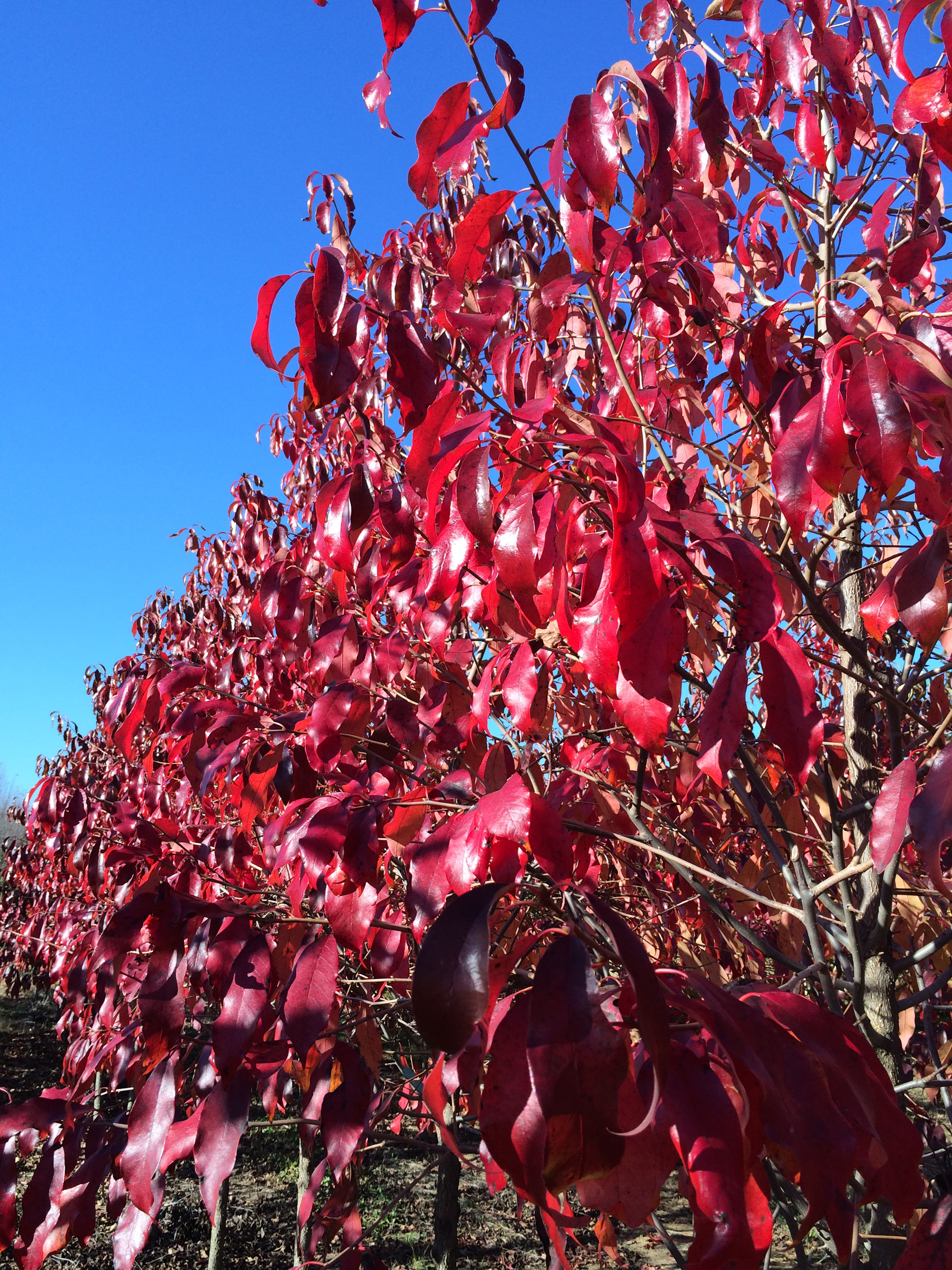 White-Chapel-Tupelo-Nyssa-sylvatica-fall-color-2.jpg