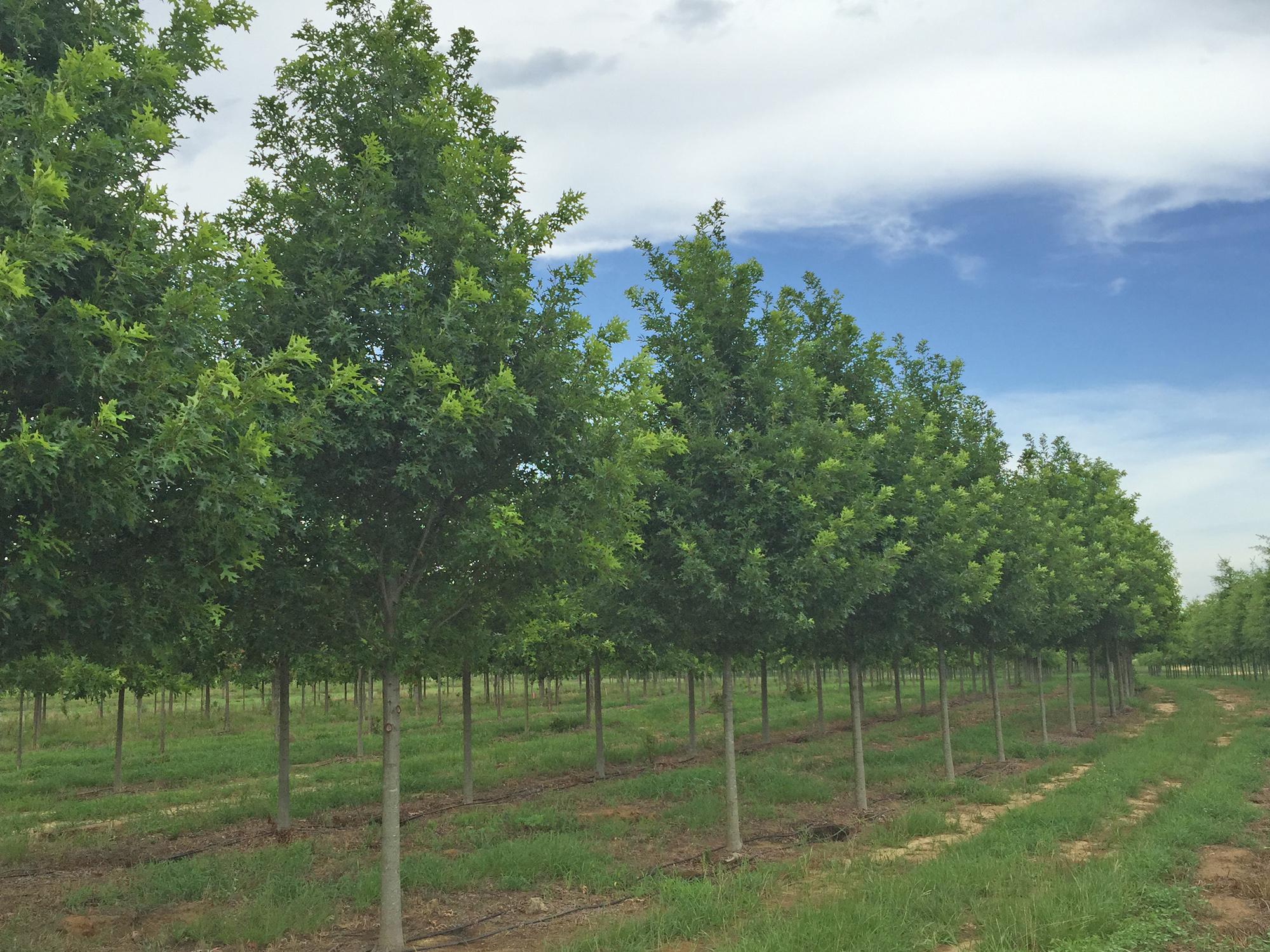 Breezeway-Nuttall-Oak-Quercus-nuttallii-row.jpg