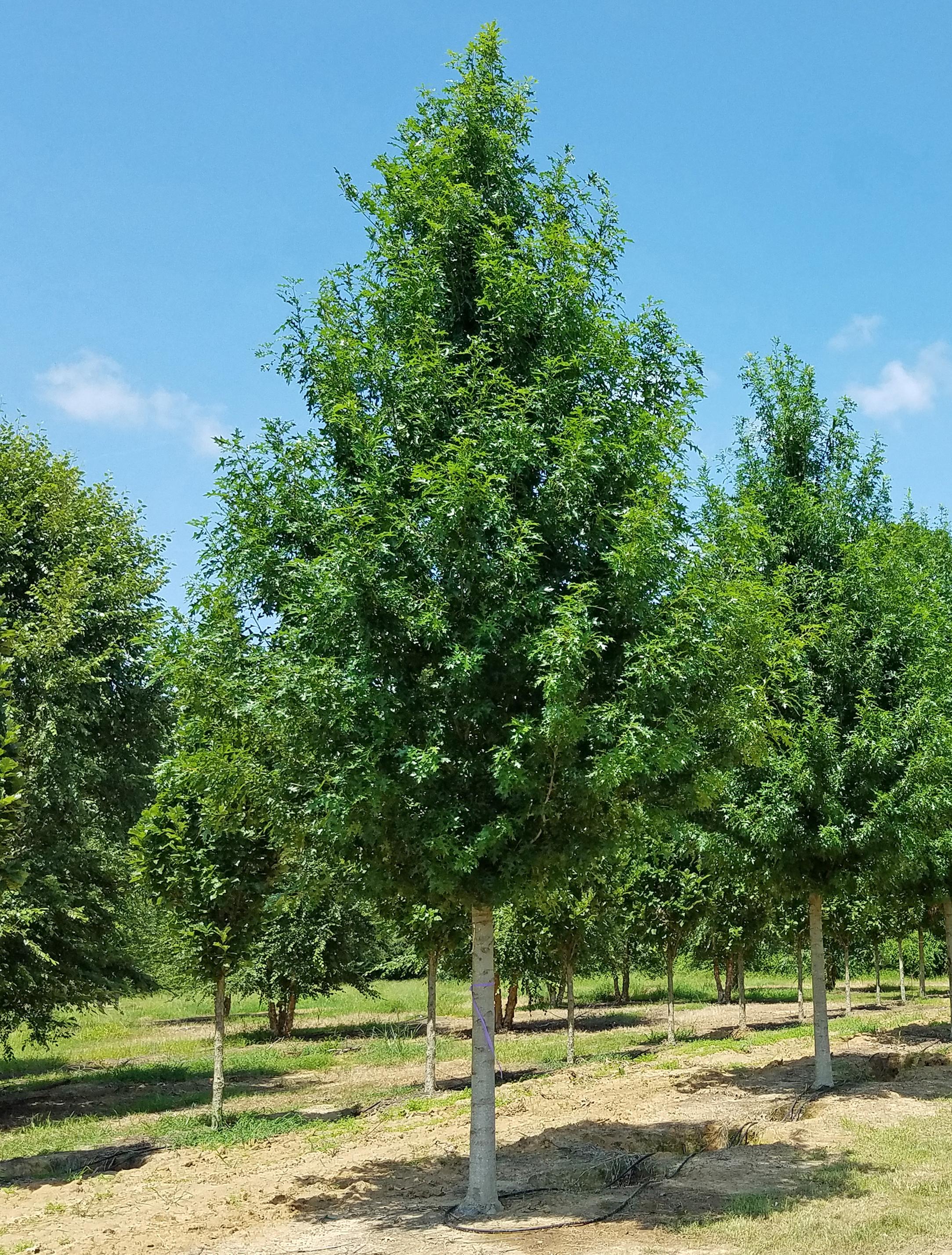 Breezeway-Nuttall-Oak-Quercus-nuttallii-Habit-2.jpg
