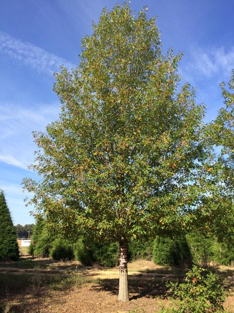 Breezeway-Nuttall-Oak-Quercus-nuttallii-Habit.jpg
