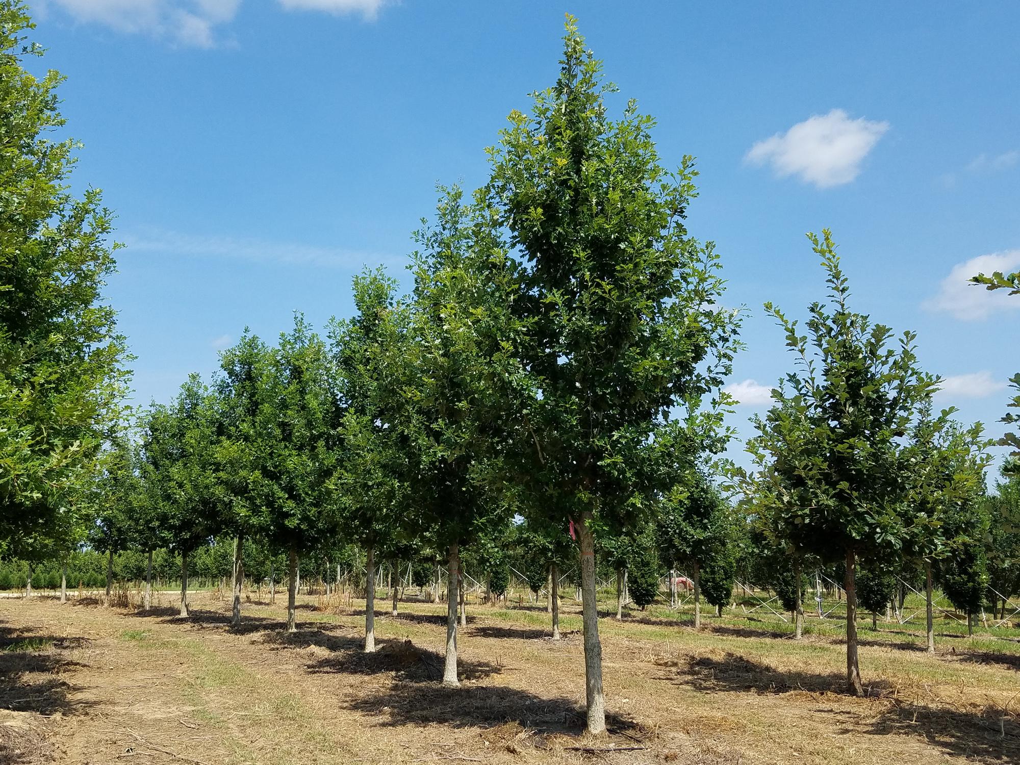 Marquee-Overcup-Oak-Quercus-lyrata-row.jpg