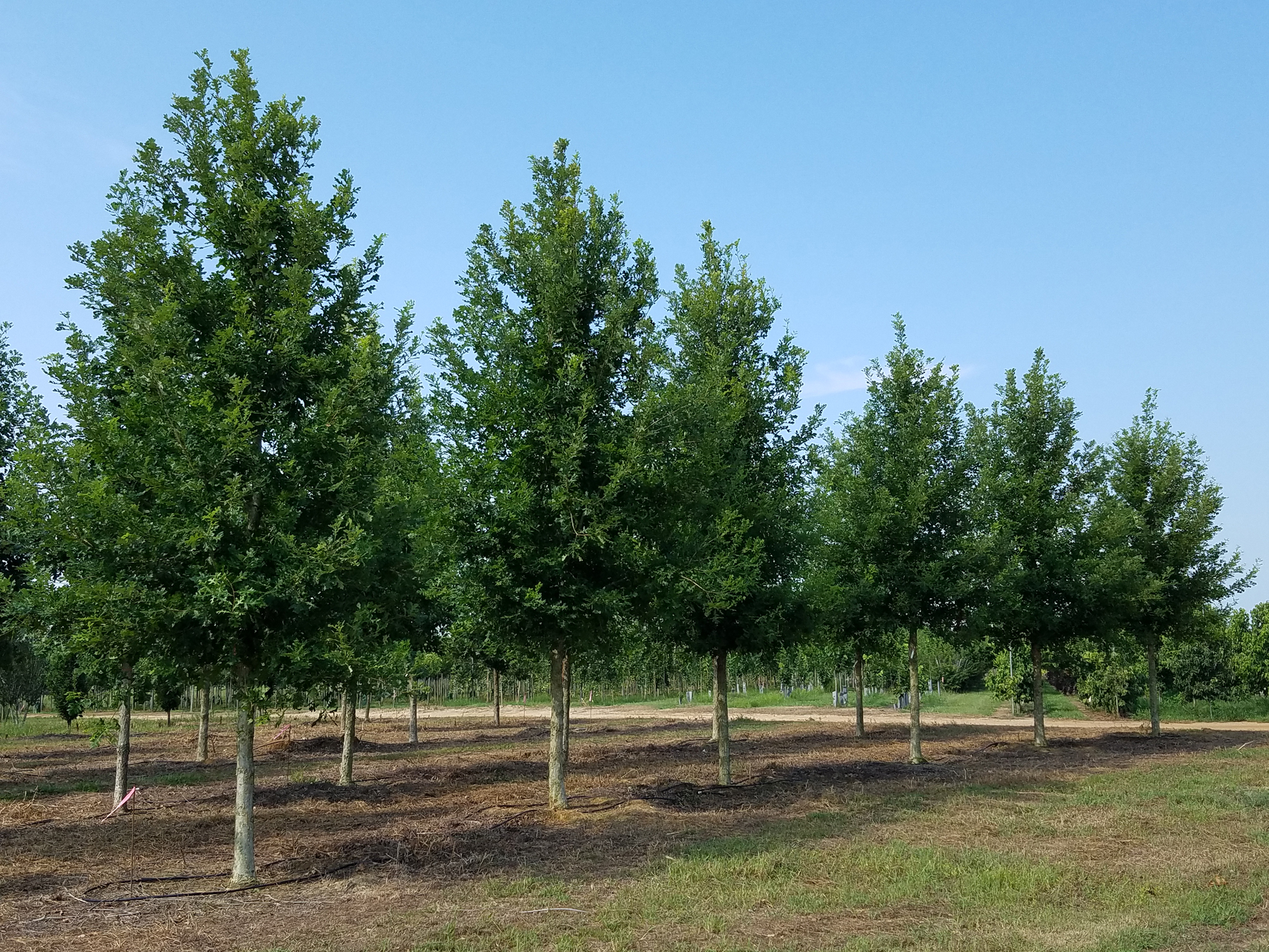 Green Spring™ Overcup Oak -