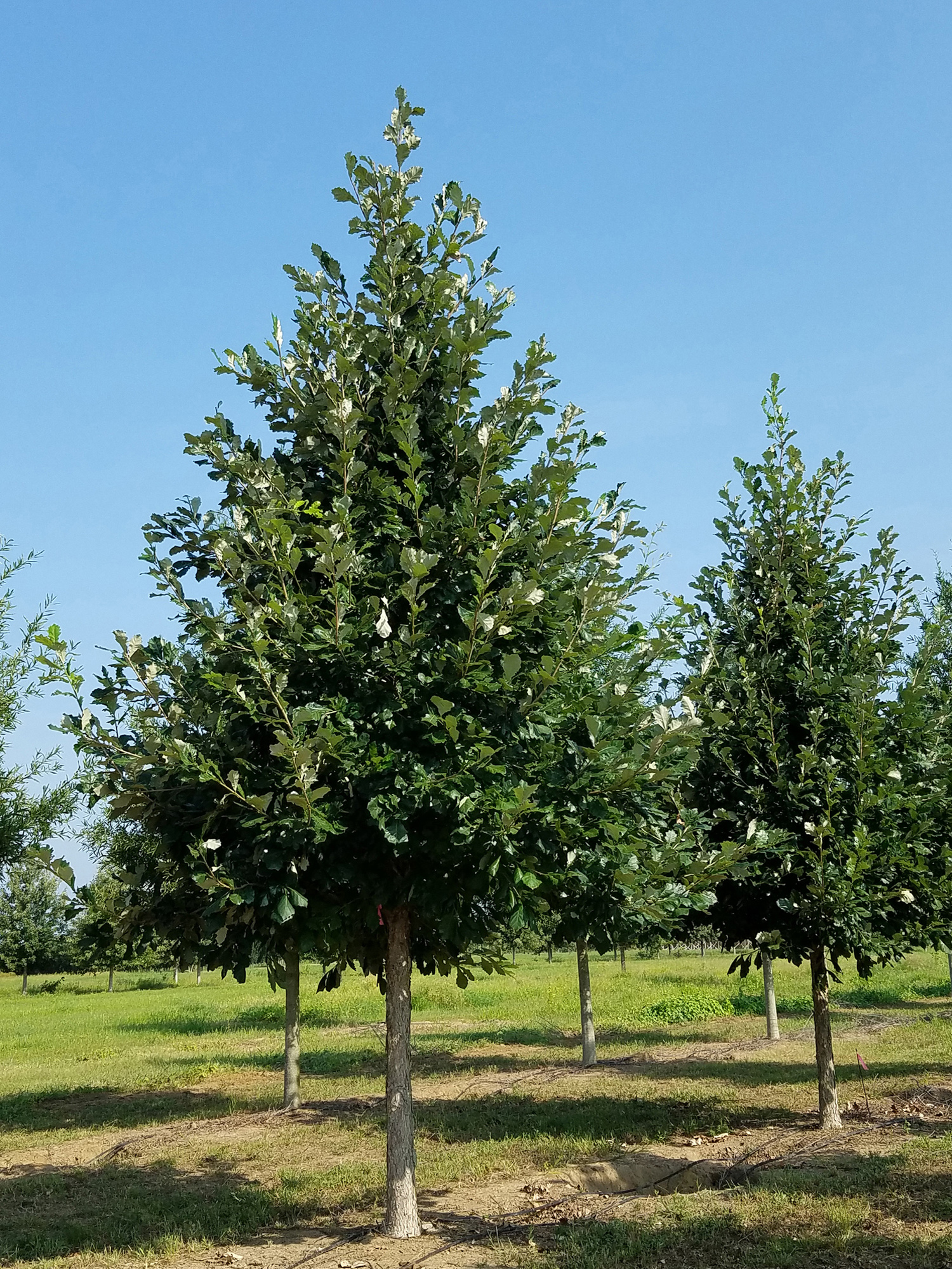 Sun breaker® Swamp White Oak -