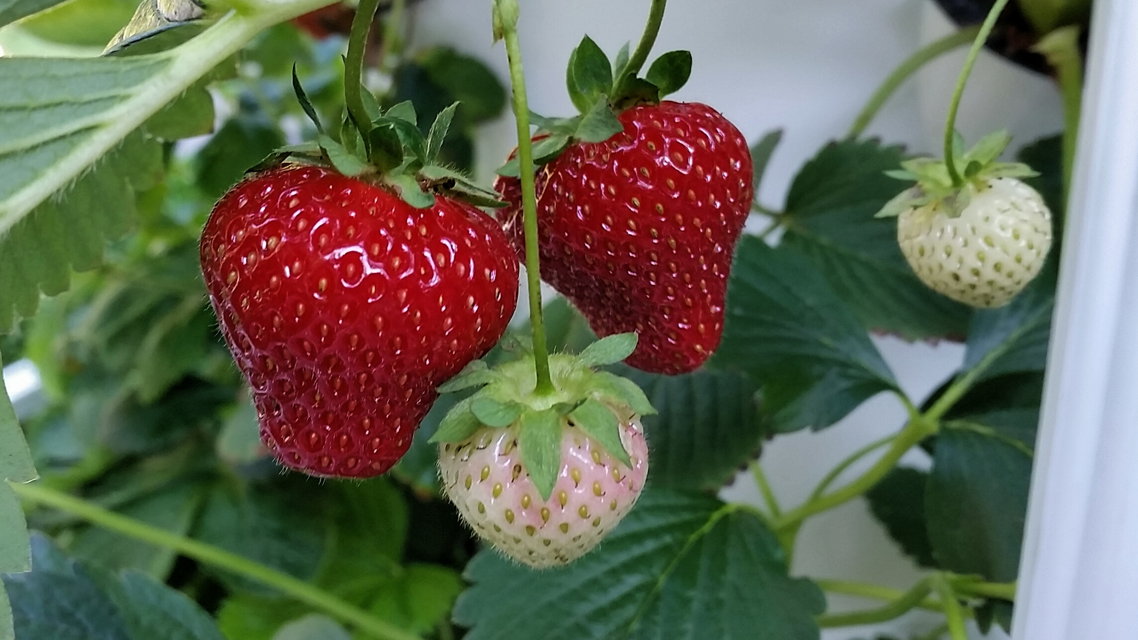 Tower Garded Strawberries.jpg