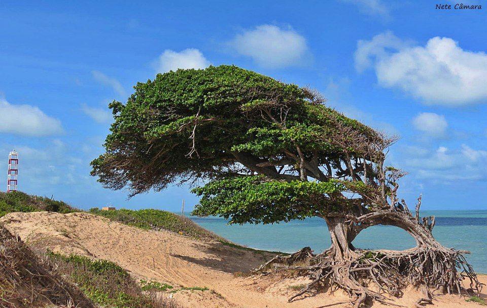 Árvore do Amor (foto disponível em  https://natalpraias.com.br/litoral-norte/ )