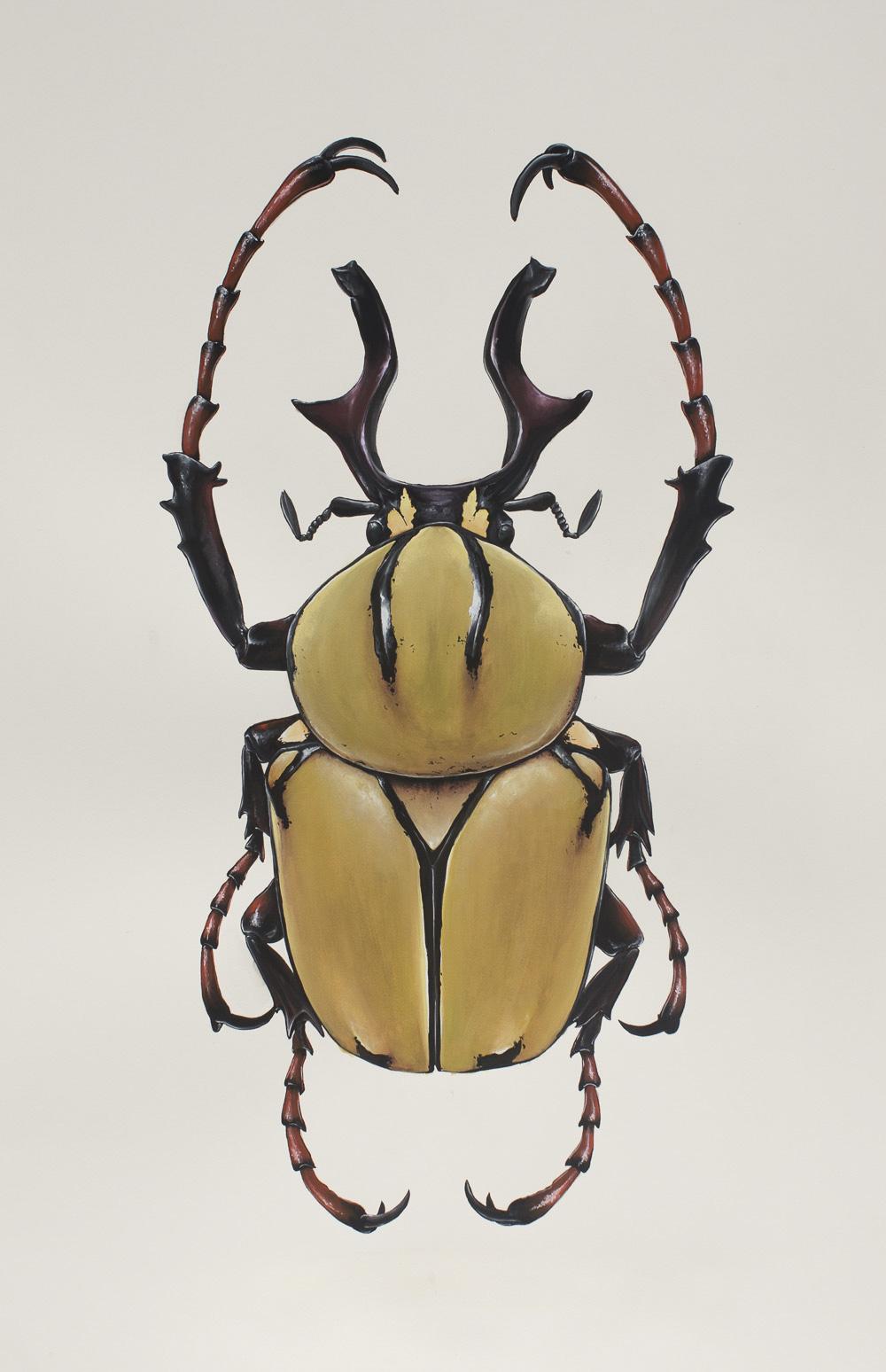 'Dicranocephalus-wallichi'