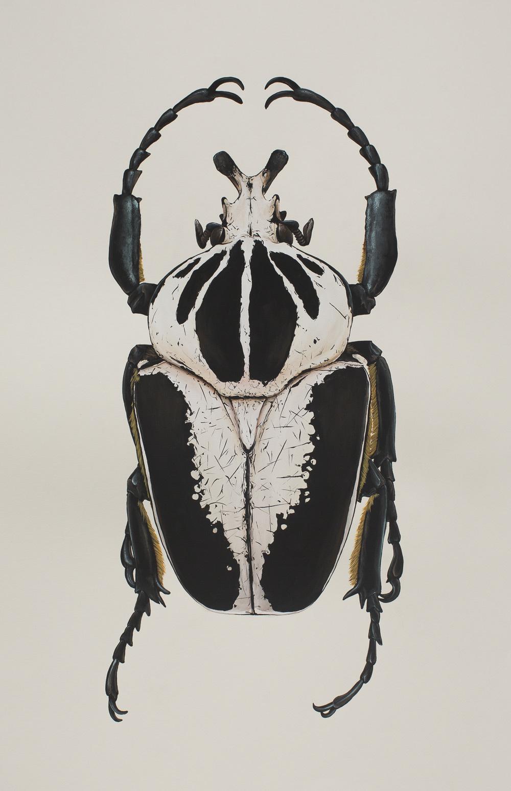 'Goliathus-albosignatus'