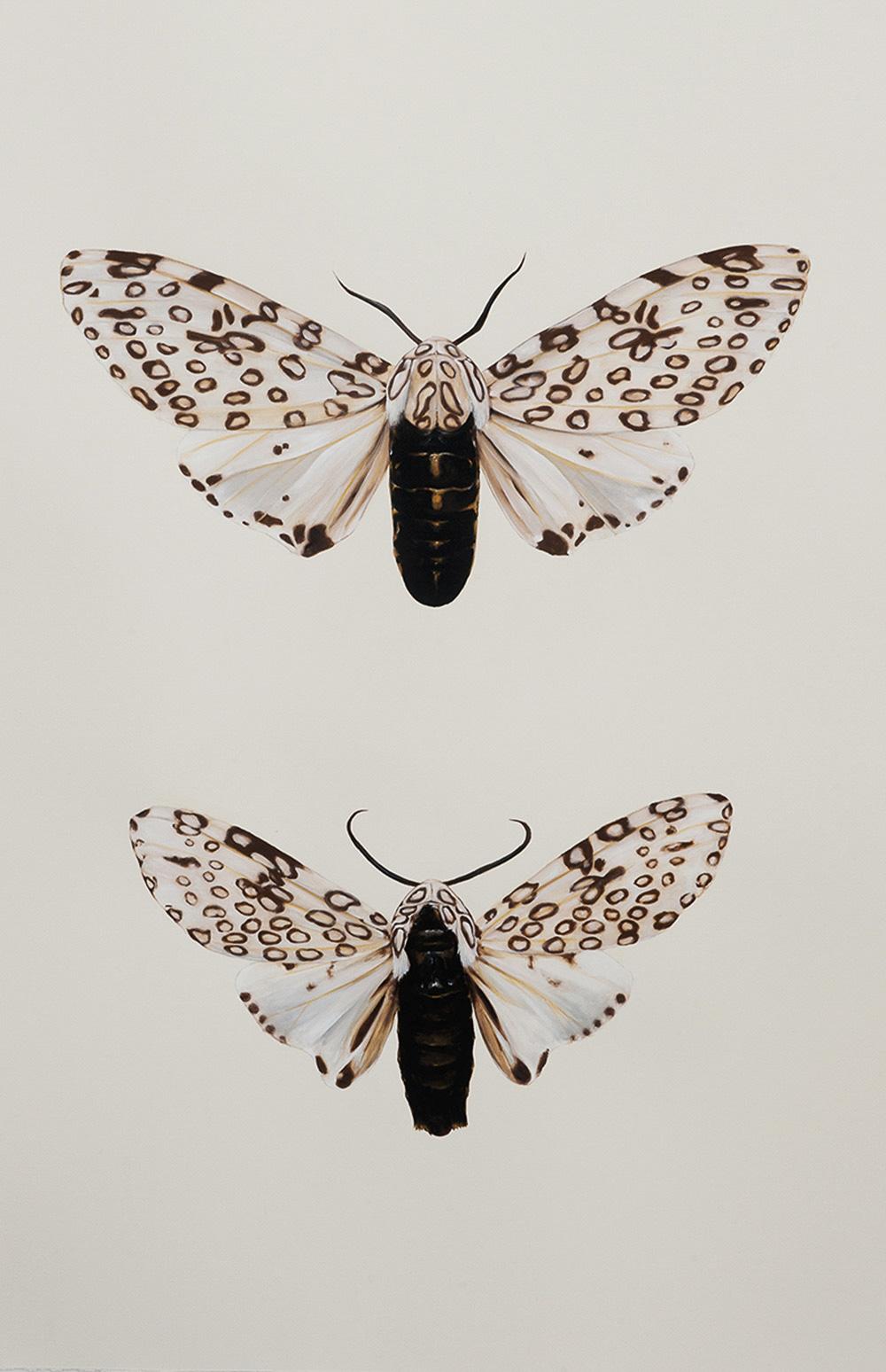 'Hypercompe-scribonia-male & female'