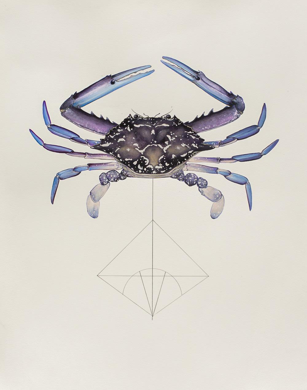 'Portunus-pelagicus'