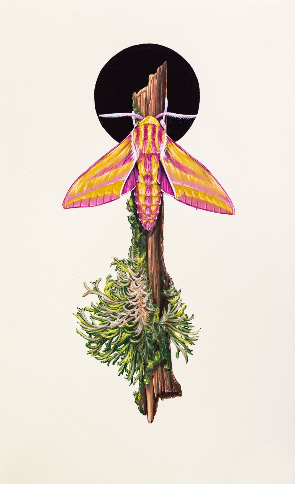Elephant Hawk Moth, West Country, England. A part of the 'Discovery' series of works.