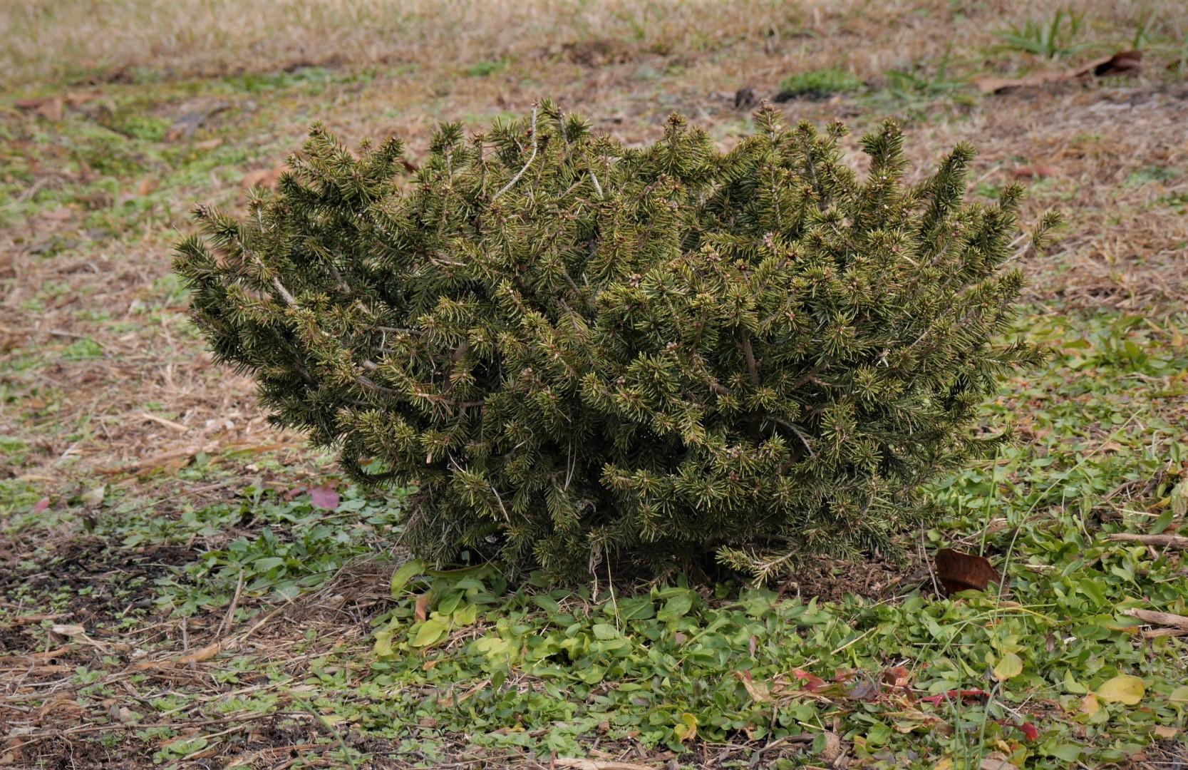 Picea abies 'Pumilia Nigra'