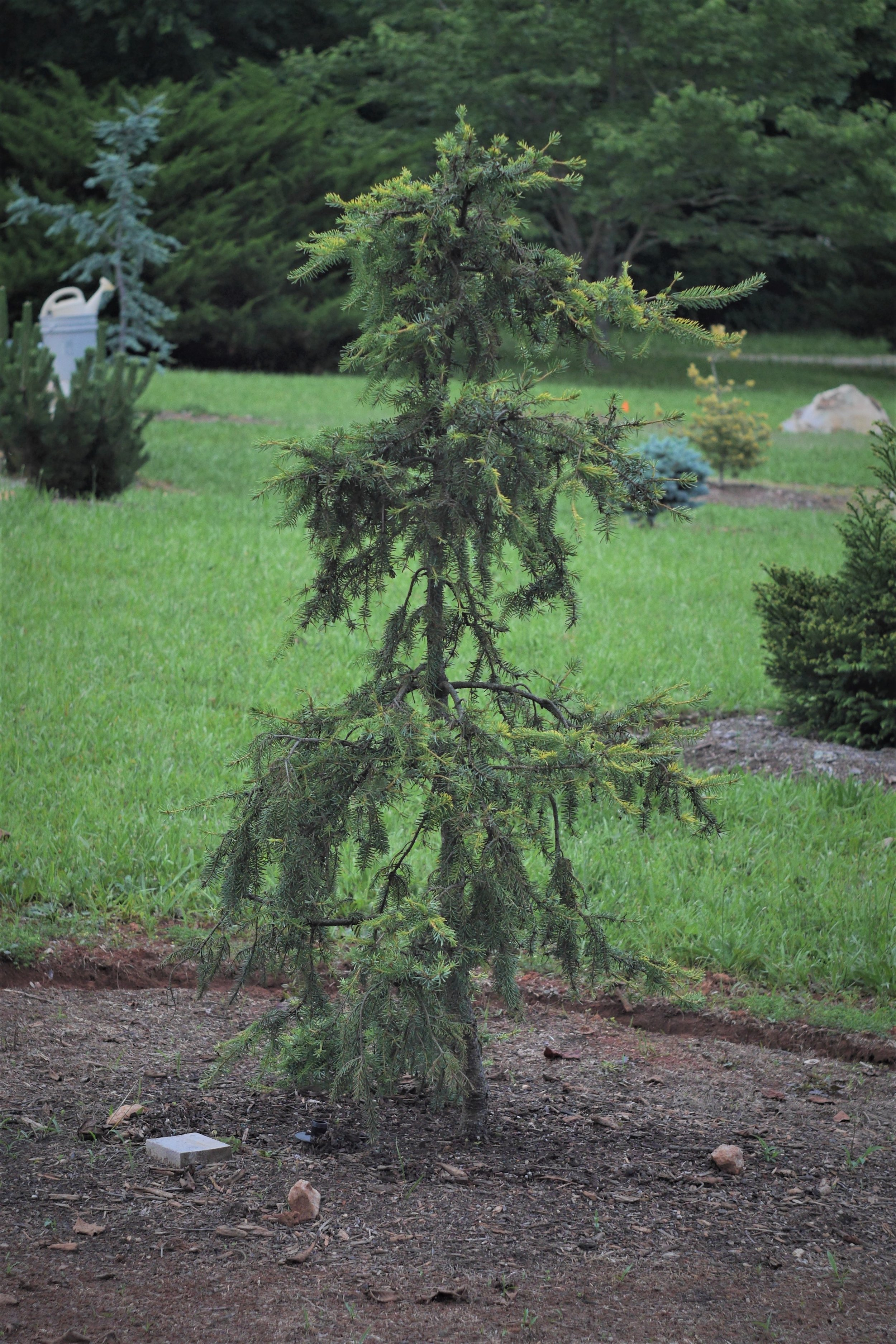 This Picea omorika 'Aurea' was purchased as a scraggly 5 foot sapling, but will quickly turn into a narrow beauty. It's foliage is nothing short of breath taking.
