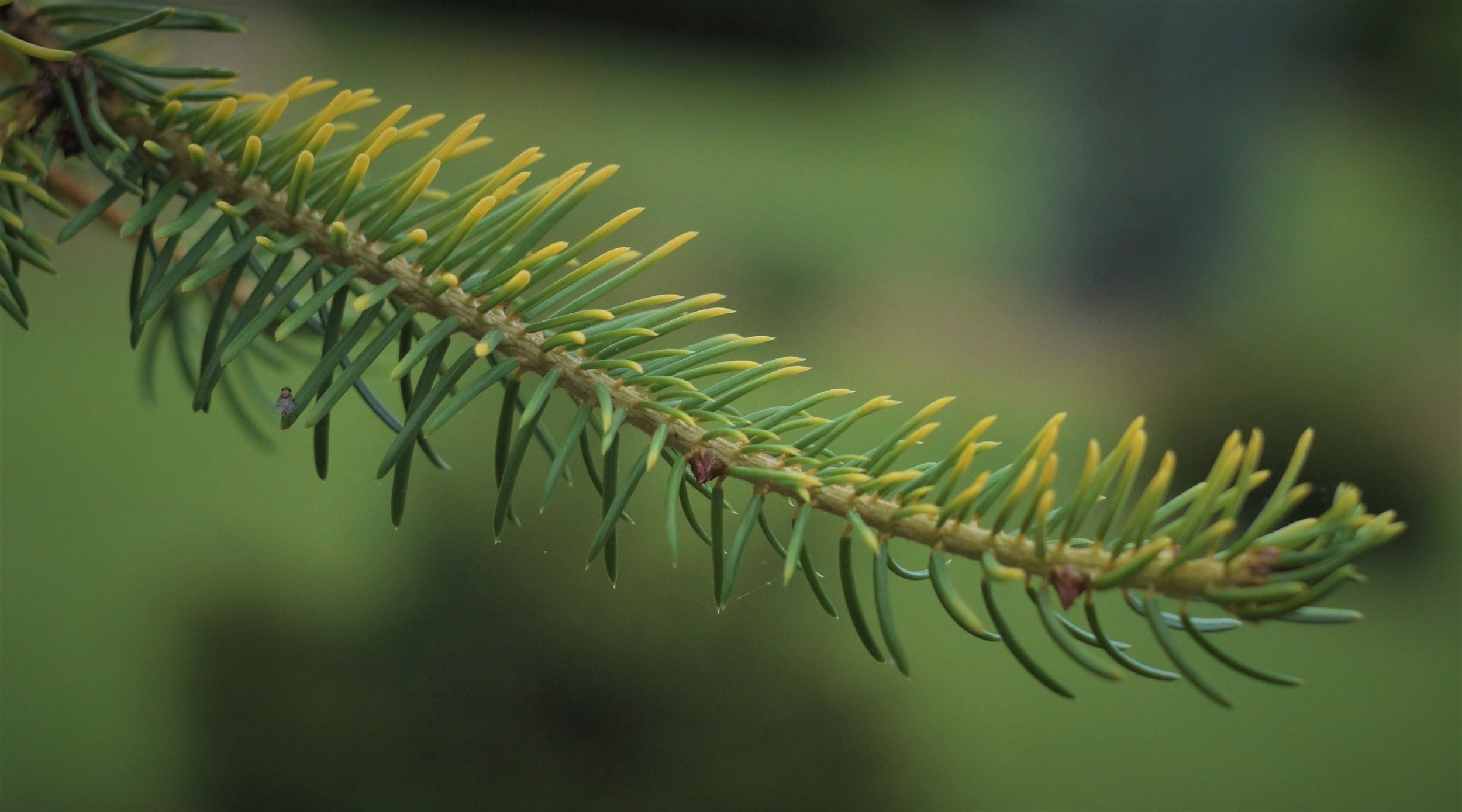 Its foliage is tipped with yellow, and has a hard to capture blue undertone.