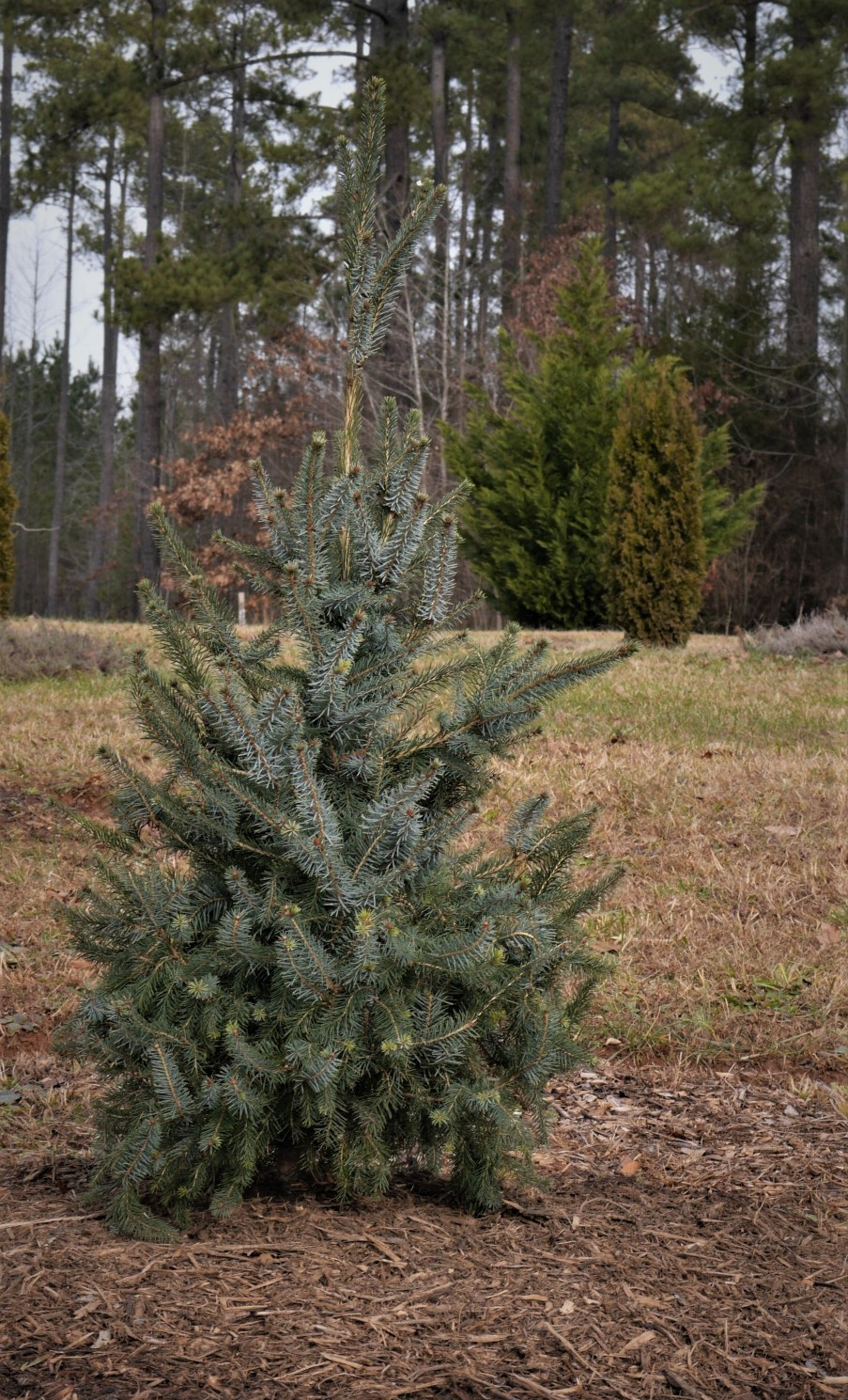 This Picea omorika 'Bruns' has a beautiful, narrow conical shape already, and its aqua foliage has a silvery underside. The dual toned foliage seems to make it shimmer in the sunlight.