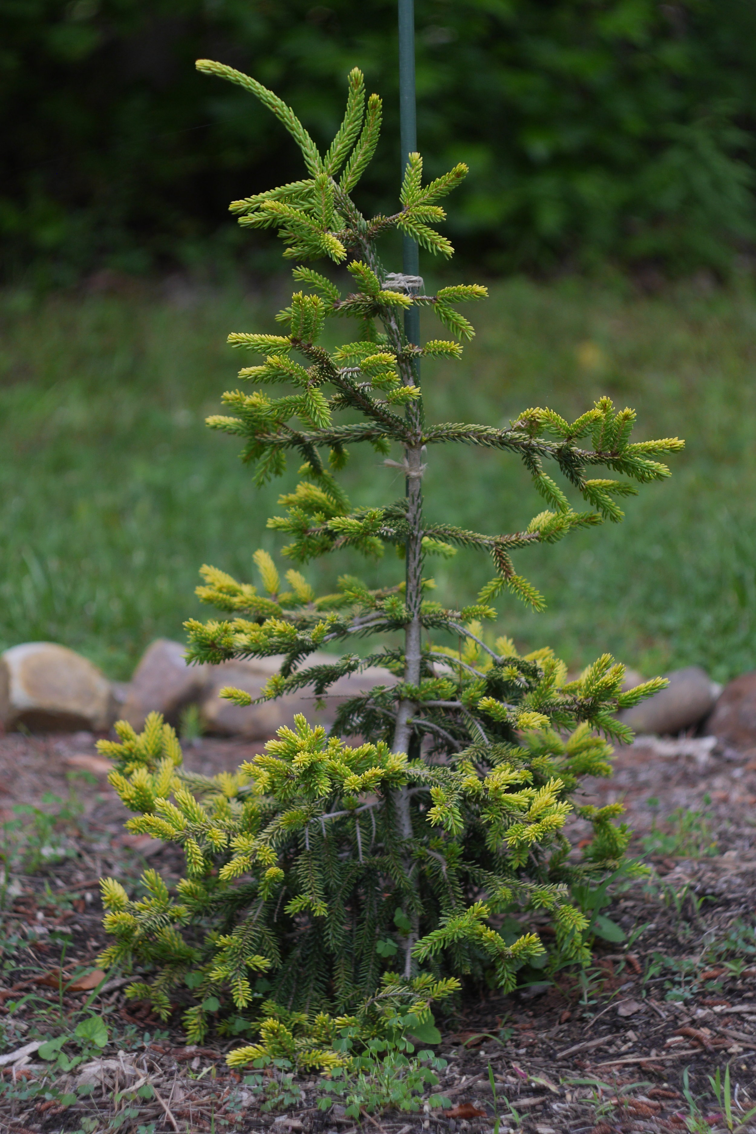 This little 2 gallon Picea orientalis 'Skylands' is already beginning to sport the almost neon yellow the cultivar is known for.