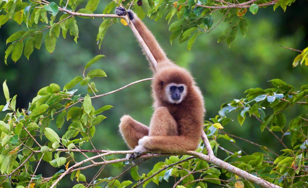image_2683e-Lar-Gibbon-1024x624.jpg