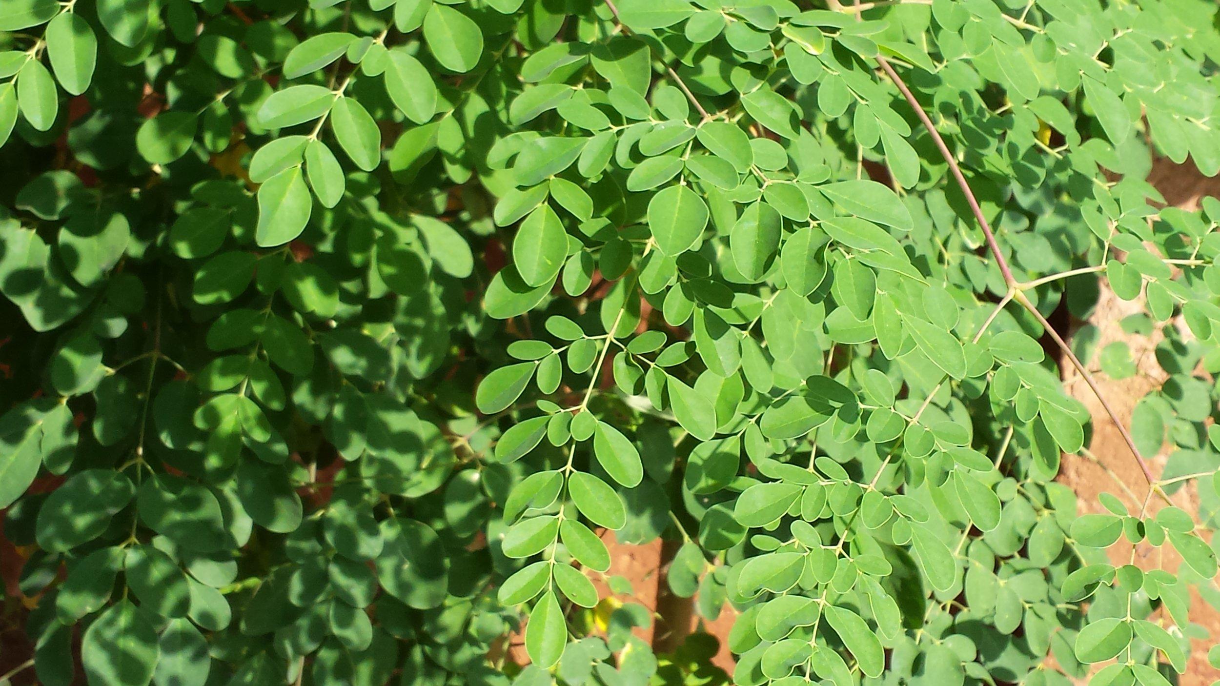 moringa-leaves.jpg