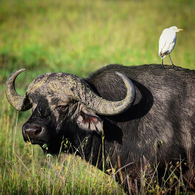 """If you want to go fast, go alone. If you want to go far, go together."" – African Proverb ♥️ #livearicherlife #maasaimara #richerlifefoundation #kenya #capebuffalo #egret #collaboration"