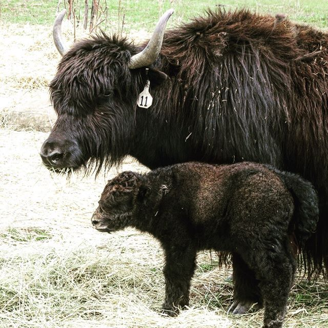 It's calving season (and has been for a bit now) up at Hobbit Hill Farms! Ummm ... yeah.... how cute are baby yaks? 🥰 #hadtosharethecuteness  #localfarmers . . . #mccallfarmersmarket #mccallidaho #localmeats #yaks #knowyourfarmer #buylocal #idahome #boisefarmersmarket #farmersmarket #idahoexplored