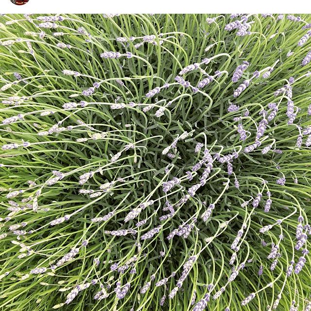 This is happening at Longdog Lavender! Can't wait for all things lavender by @ryderd !  Market starts June 12th. #supportlocalfarms . . . #farmersmarket #boisefarmersmarket #mccallfarmersmarket #knowyourfarmer #dreamingofsummer #lavender #idahofarmers #mccallidaho #emmettidaho