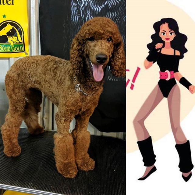 Folllow Twiggy to the Retro Party!  She already has her leg warmers on and is ready to have fun! #poodlecuts #legwarmers #notpoofs #dogsofclubcanine #poodlesofhouston #redpoodle #poodlesofinstagram