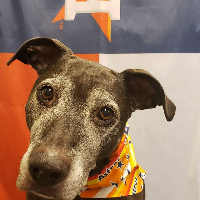 Let's go @astrosbaseball!!! Some of the friday crew all dressed up and ready to cheers the guys to victory!  Thanks to @barknbandanas for the cool threads! #astrosdog #astrosbaseball #takeitback #houstonastros