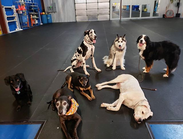 What is Black and White and cute all over?  This crew!!! Apparantly Irish the Dogo was still a little tired. 🤣 #dogsofclubcanine