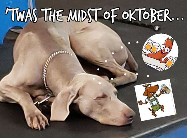 When Shadow dreams... #weimeraner #germandogs #oktoberfest #wurst #lederhosen #weimeranersofinstagram #dogsofclubcanine #dogsofhouston