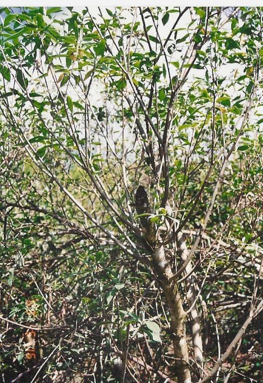 1.tree.JPG