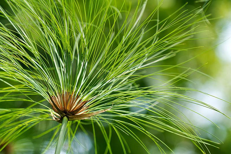 Papyrus - Le papyrus Cyperus est une culture royale qui pousse principalement dans les zones marécageuses du delta du Nil. La plante forme de grandes forêts de papyrus avec des bourgeons pouvant atteindre cinq à six mètres de haut. Transformer le papyrus en papier nécessite des connaissances et des compétences que les Égyptiens se transmettent de génération en génération depuis les origines de leur pays. Étant donné que la production coûte très cher, le papyrus ne peut être utilisé que dans une mesure très limitée.