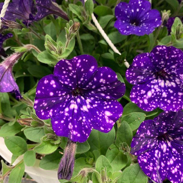 Night Sky Petunias 😍 #flowerspiration  #nofilter #nightskypetunias #inspiration #organicart #artinnature #artinscience #greenhouselife