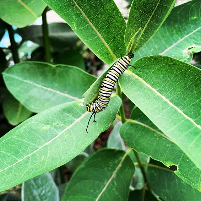 Caterpillar cuteness alert! 🐛 #dinnertime #naturalinspiration #naturewalk