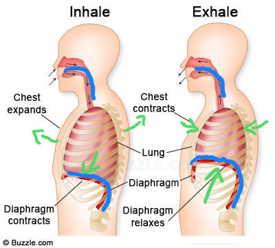 The green arrows indicate the direction of movement of the ribs and diaphragm during inhalation and exhalation. The blue highlights the shape of the diaphragm and the vocal tract, emphasizing their similarity.