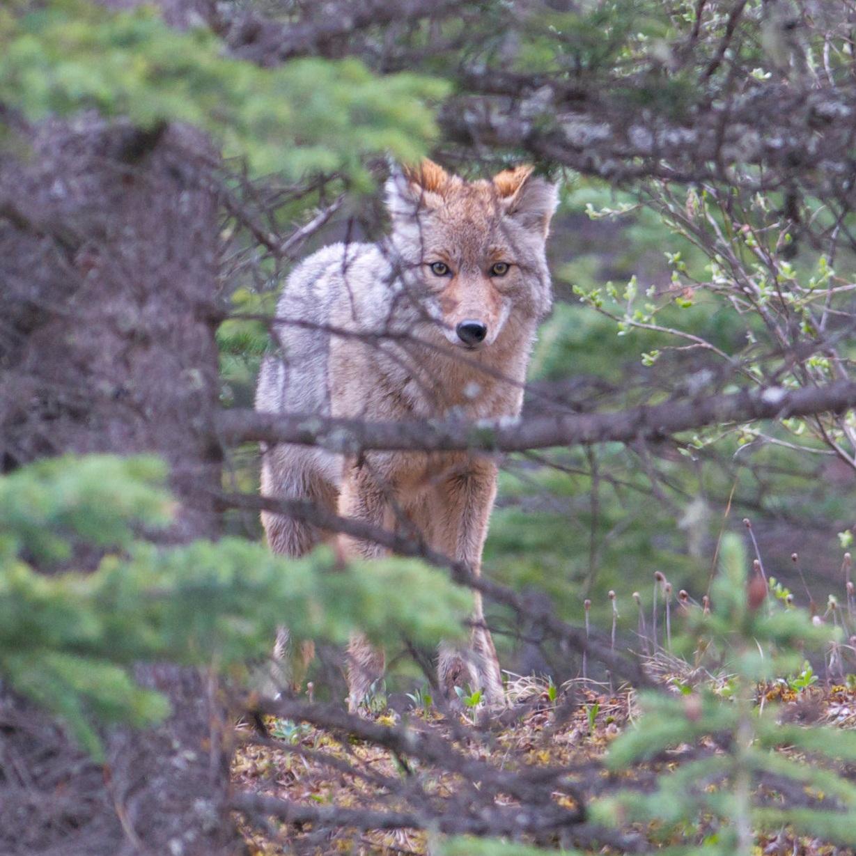 Coyote+120522+Amar+Athwal.jpg