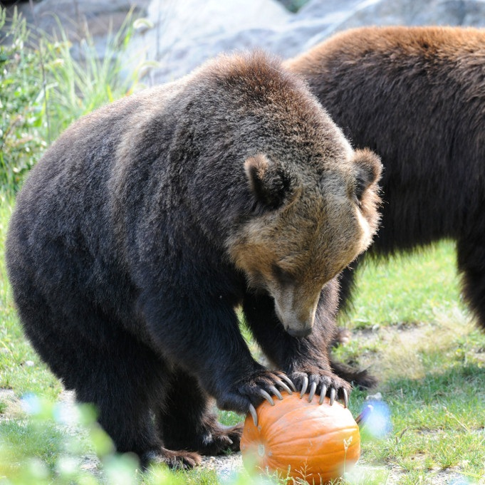 Julie-Larsen-Maher_1080_Grizzly-Bears-and-Brown-Bears-with-Pumpkin-Enrichment_BB_BZ_09-15-11.jpg