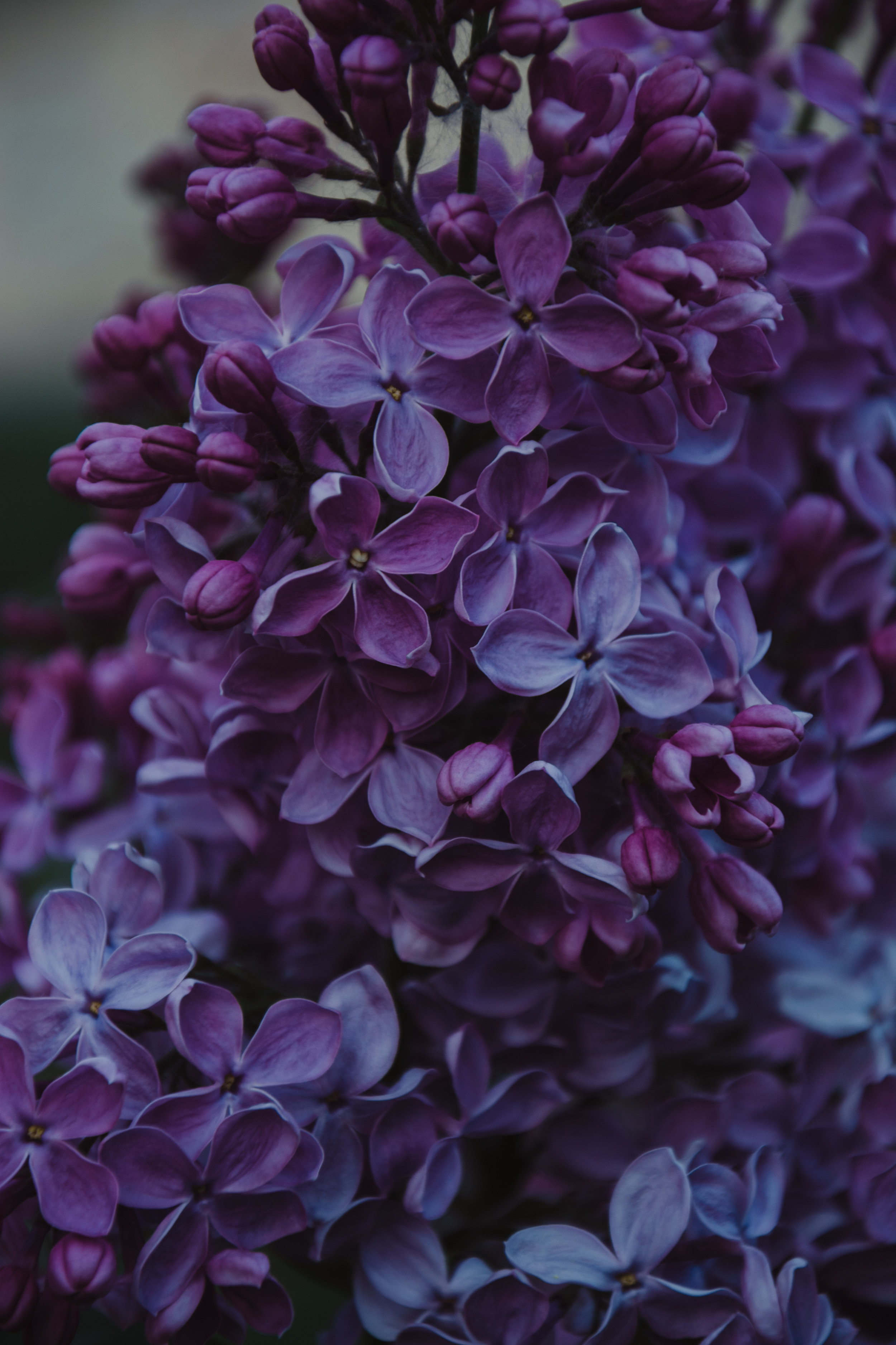 Lilac is a flowering plant that you can plant in your backyard in bear country.