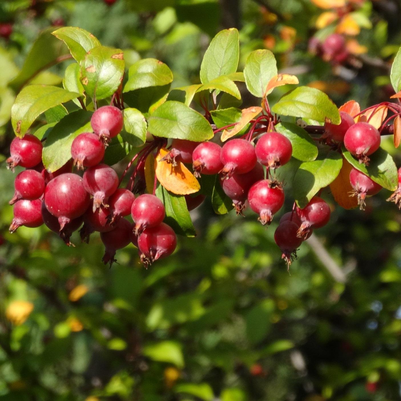 tree-nature-blossom-plant-fruit-berry-1117333-pxhere.com.jpg