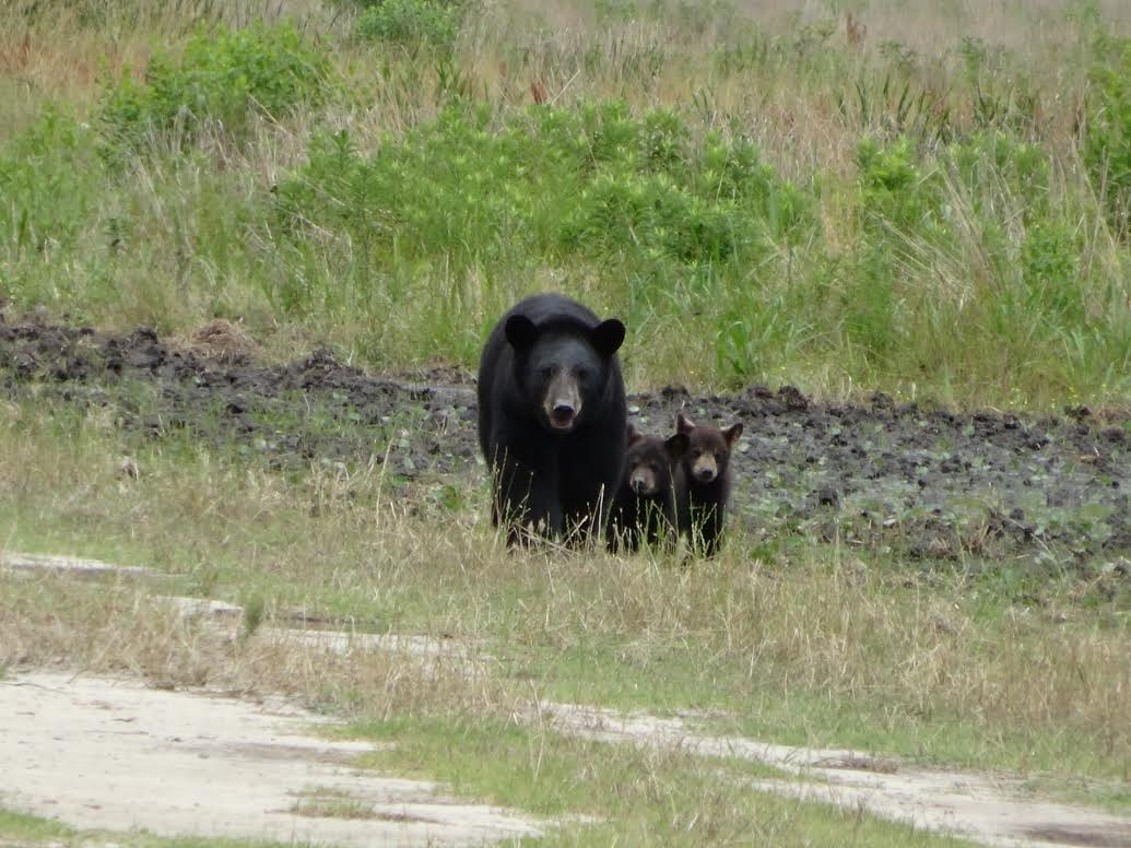 Black_bear_with_cubs_(16519716477).jpg