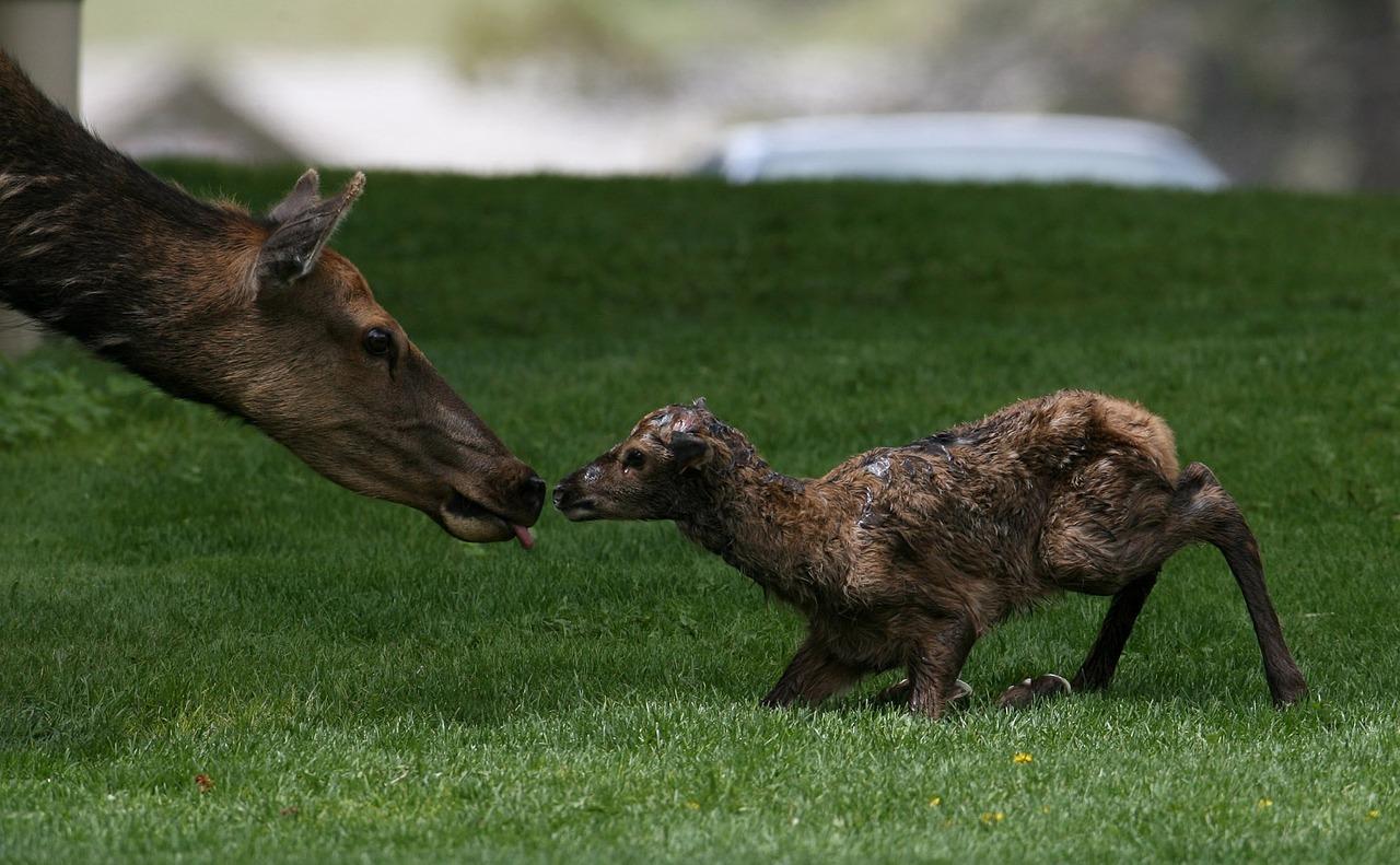 MaxPixel.freegreatpicture.com-Nature-Calf-Mother-Elk-Wildlife-Baby-Newborn-1505720.jpg