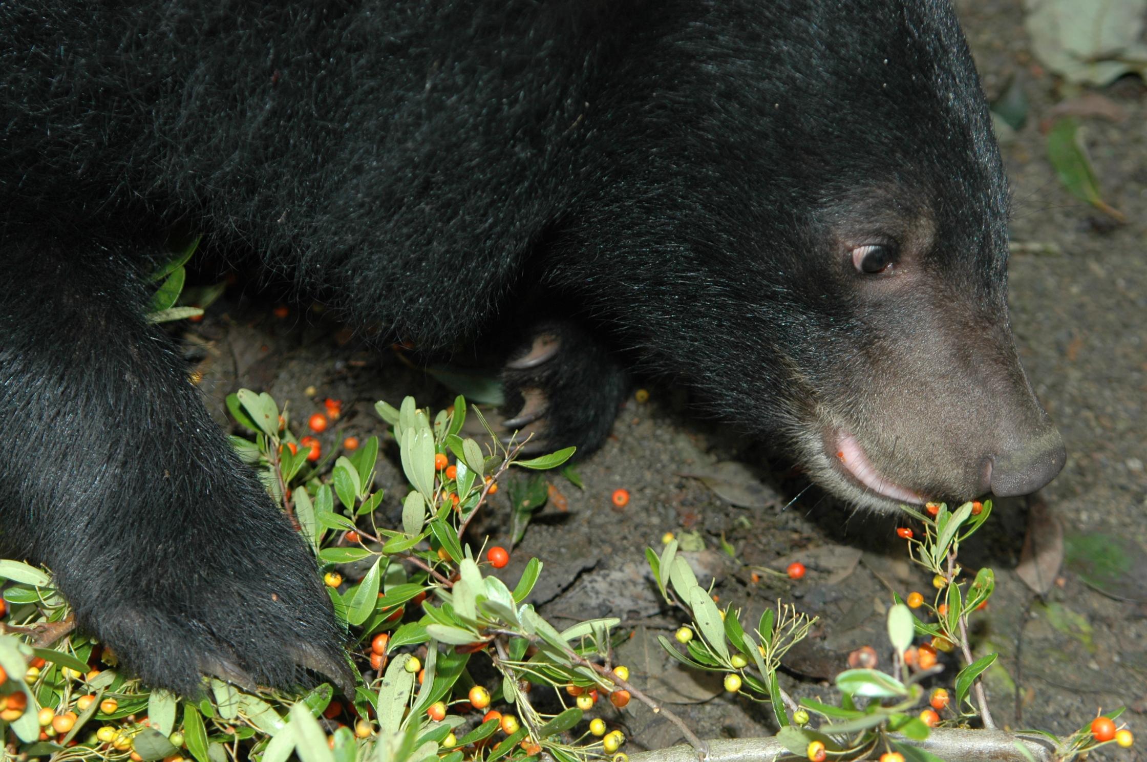 19-Formosan_Black_Bear_large.jpg