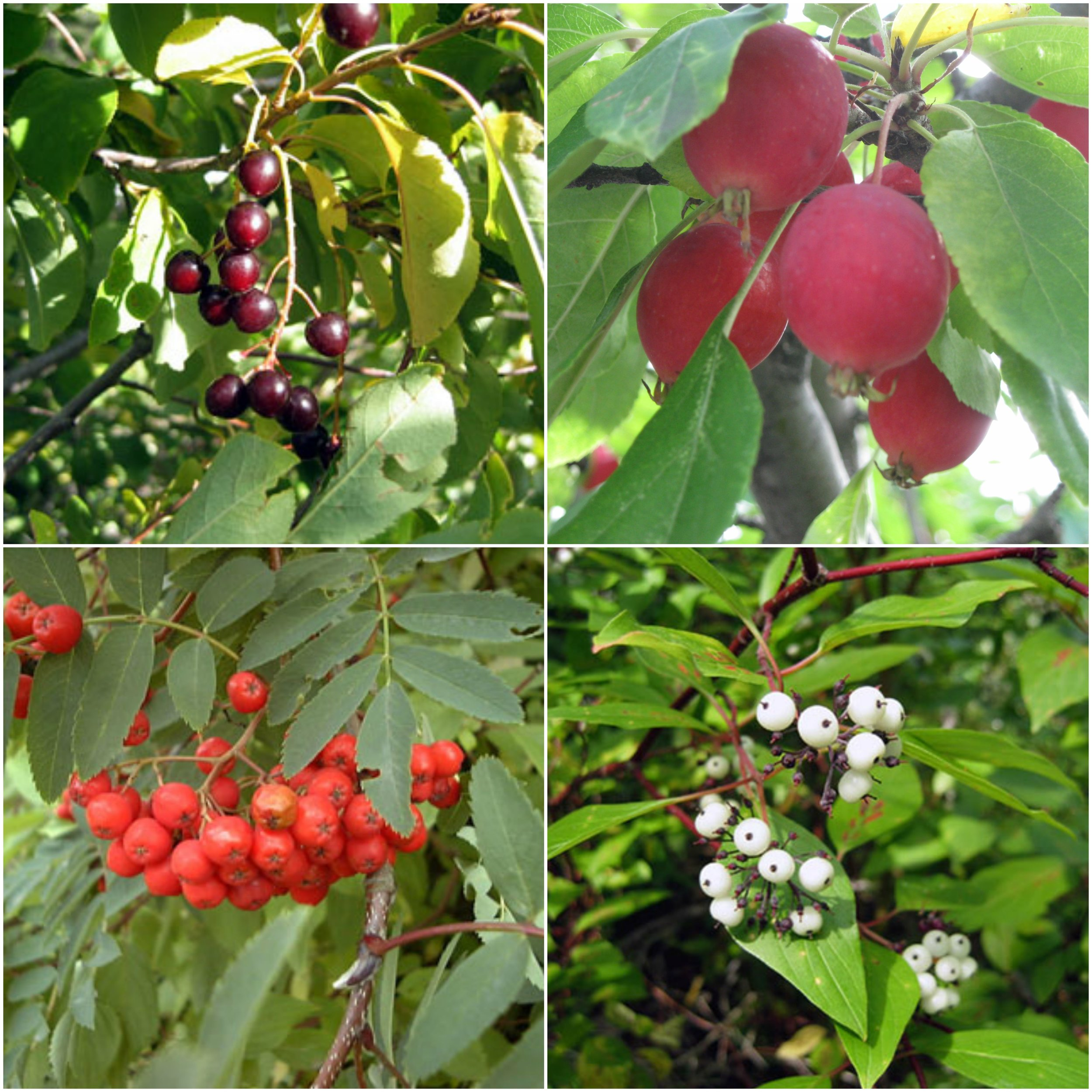 These are common fruits/berries that attract bears into residential areas (pictured clockwise from top left); Chokecherry, Crabapples, Dogwood and Mountain Ash.