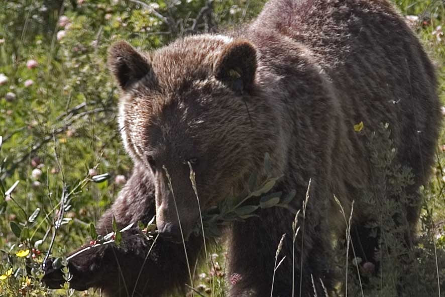 A grizzly bear enjoying some buffaloberries. Photo courtesy of Pat Kamenka