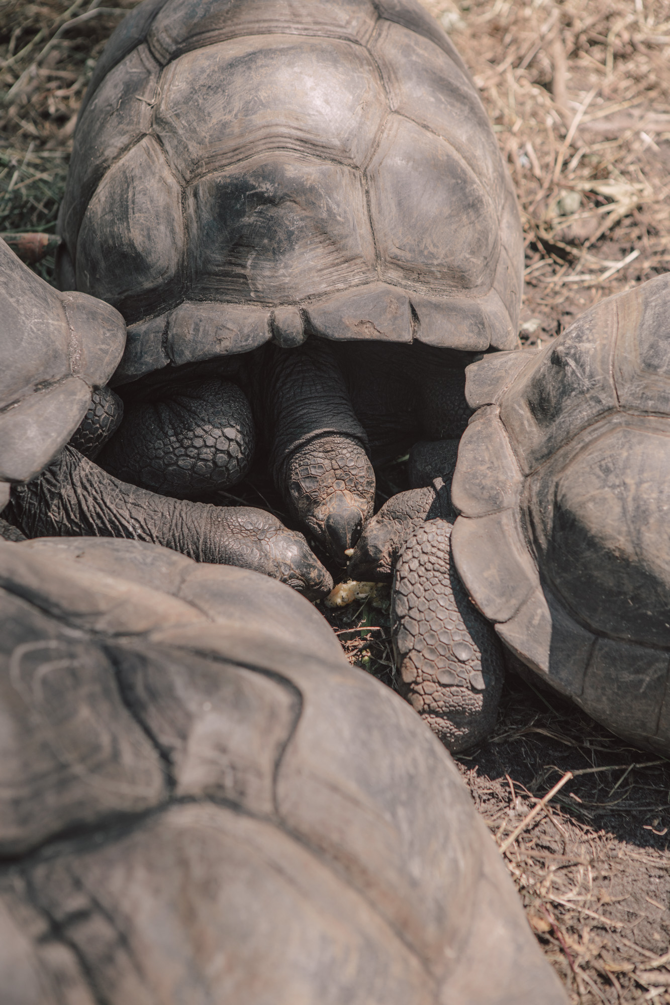 Don't let this photo fool you, those tortoises are the size of large dog houses.